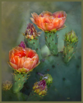 A Gatherig Of Cactus Blossoms