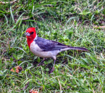 Red Crested Cardinal from Hawaii