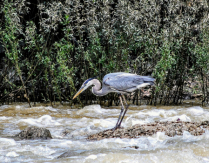 Blue Heron,  Fishing the River