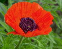Oriental Poppy 3