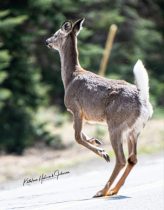 Deer About To Cross The Road! 3