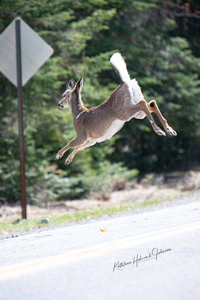 Deer Now Jumping Across The Road! 3