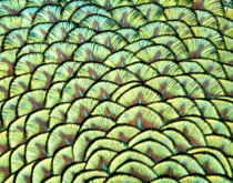 Peacock Patterns