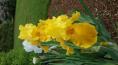 German Iris in my yard