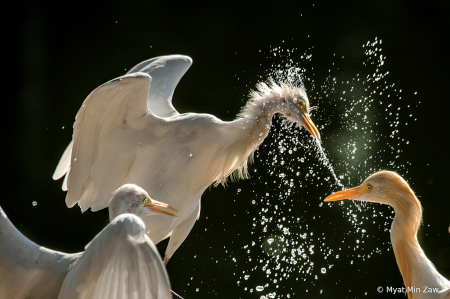 fighting for a fish