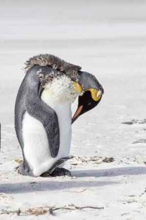 Moulting King Penguin