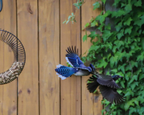 Grackle being chased by a Blue Blue Jay!