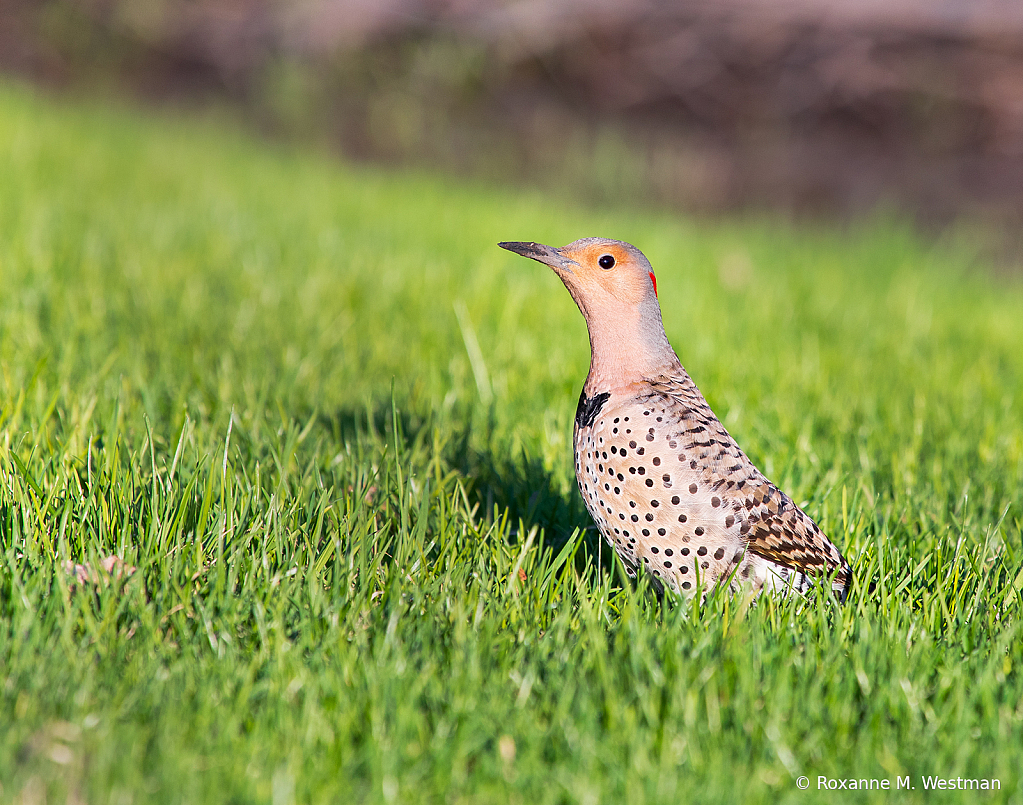 Northern Flicker - ID: 15823016 © Roxanne M. Westman