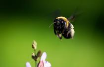 Bee - Horizontal