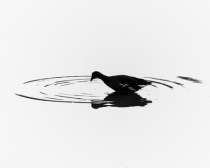Common Moorhen Silhouette