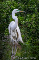 Great Egret Surveying the Scene