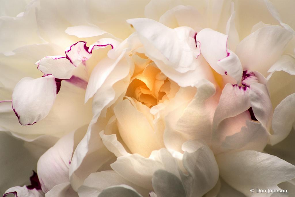 White Peony Close Up 5-24-20 007 - ID: 15823154 © Don Johnson