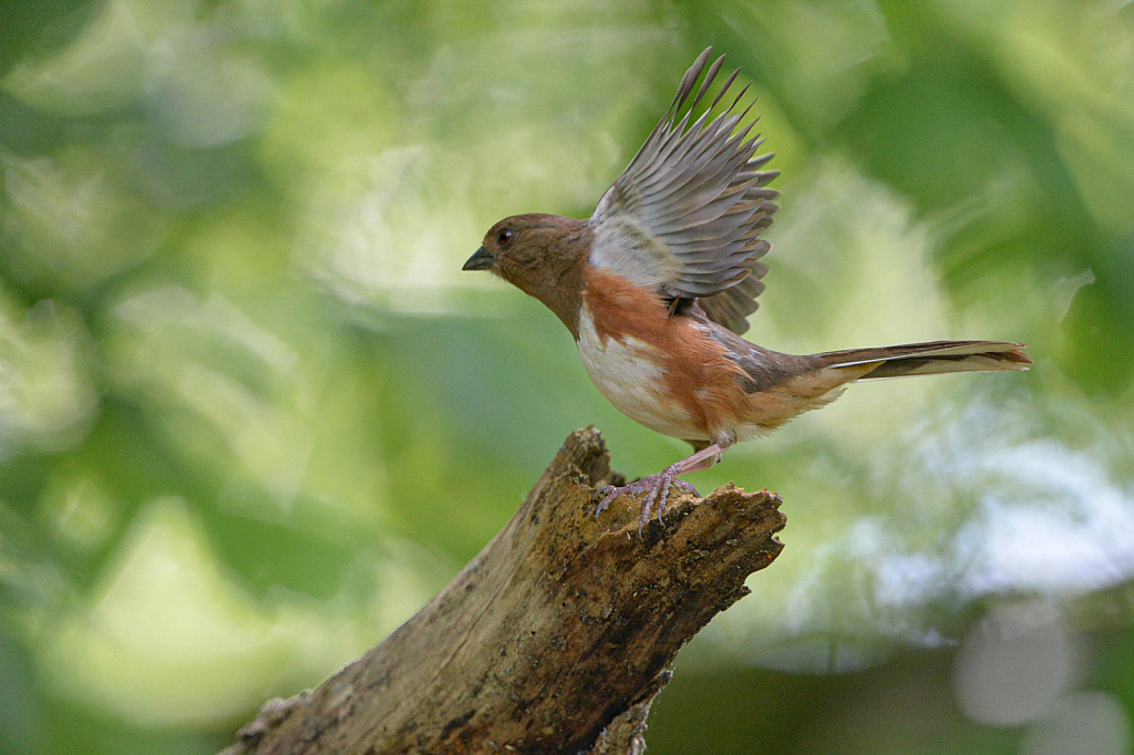 The Wings of Mrs. Towhee