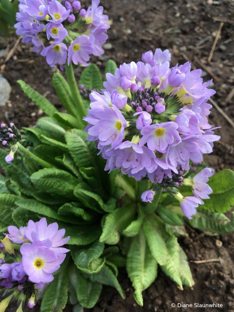 Purple Flower - ID: 15823356 © Diane Slaunwhite