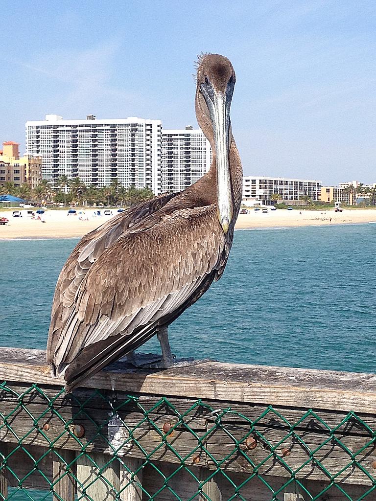Poised Pelican - ID: 15823363 © Diane Slaunwhite