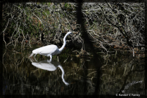 On the Move Egret . . .