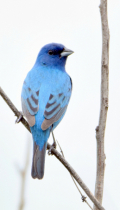 Indigo Bunting at Silver Creek Nature Preserve