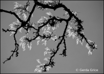 Back Lit Branch in Black and White