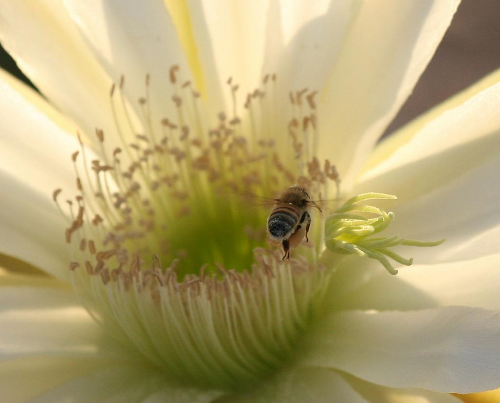 Bee in Cactus Flower