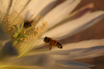 Bees and Cactus Flower