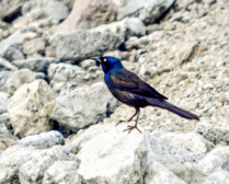 Grackle at the Reservoir