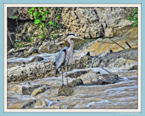 Blue Heron in the Blanchard River