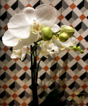 ~ ~ WHITE BUTTERFLY ORCHID ~ ~