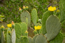 Prickly-less Prickly Pear
