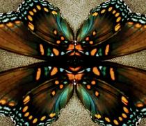 Borrowed butterfly