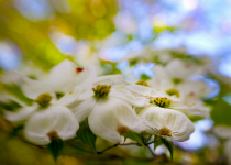 Dogwood with Lensbaby