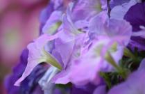 Delicately purple