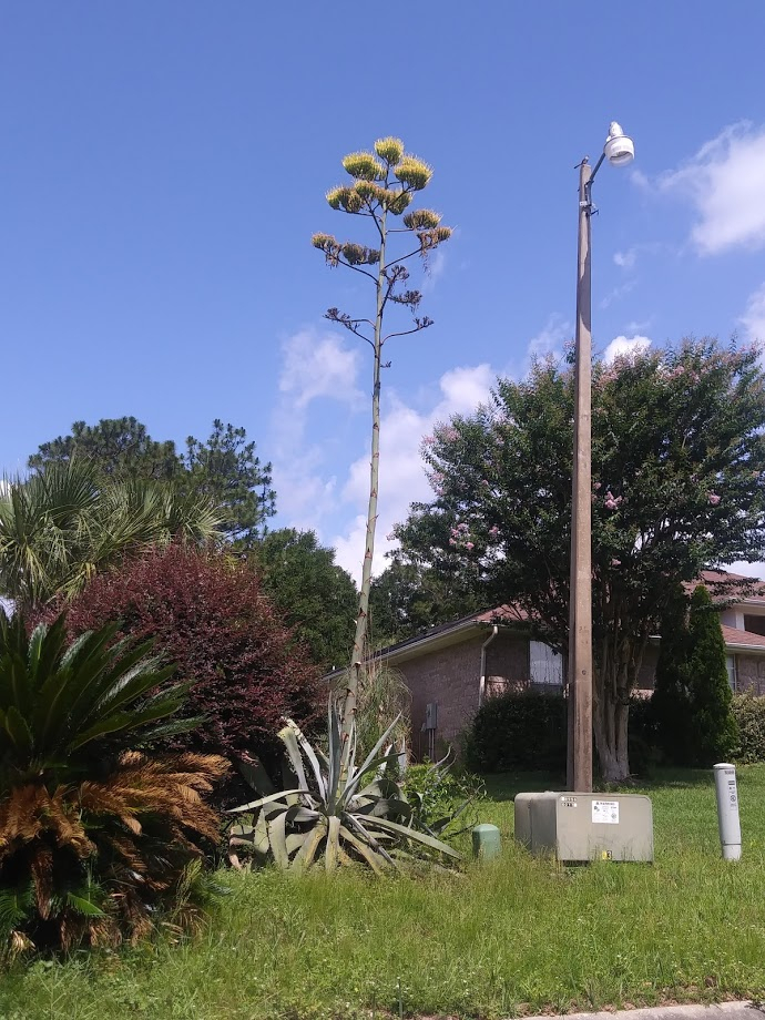 Century Plant at Nursery in Pace, Florida