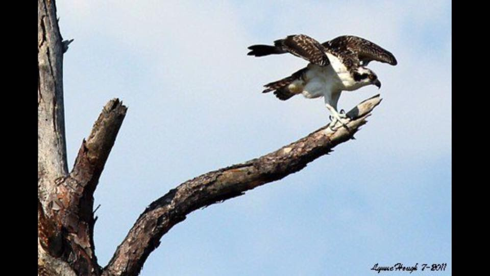 Osprey at Ft Pickens - ID: 15824053 © Lynne Hough