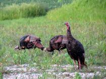 Turkey Family Outing