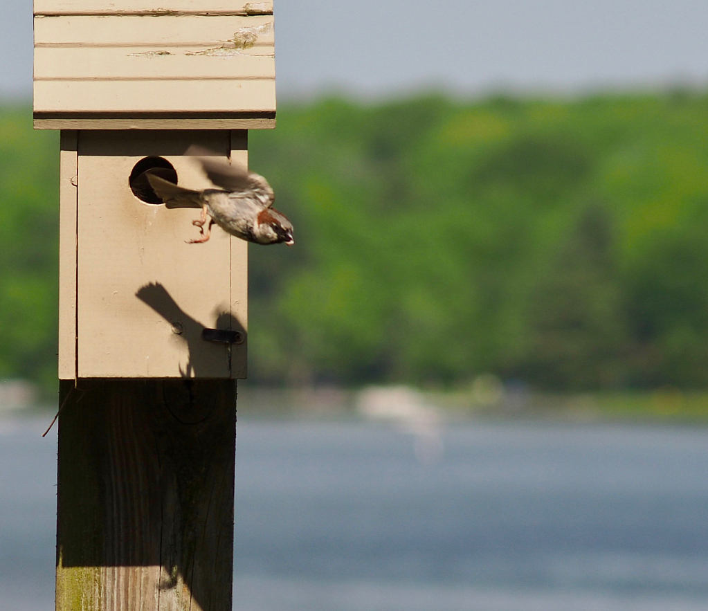 Male House Sparrow Leaves the Nest