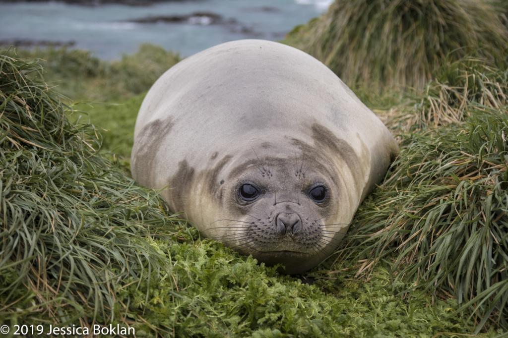 Elephant Seal Weaner