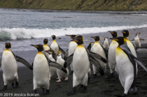 Royal Penguin Pair Crashing King Penguin March