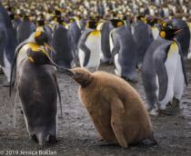 King Penguin Feeding Chick