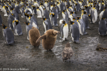 King Penguin Chick Attempting to Scare Away Skua