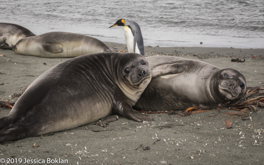 Elephant Seal Weaners with King Penguin