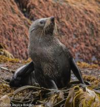 Fur Seal - Antipodes Islands