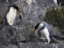 Erect-Crested Penguins - Antipodes Islands