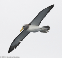 Chatham Islands Albatross