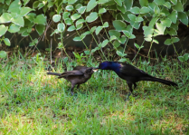Boat-tail Grackle feeding his young