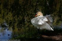 Whistling Gardens Swan