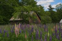 Windsor Barn and Lupines