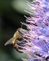 Lavender Pollen?
