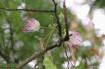 Delicate Mimosa F...