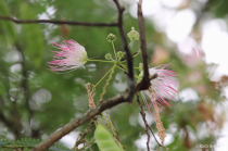 Delicate Mimosa Flowers