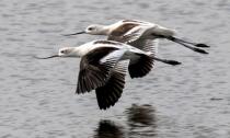 Avocet Pair in Flight